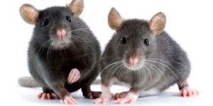 tikus2
